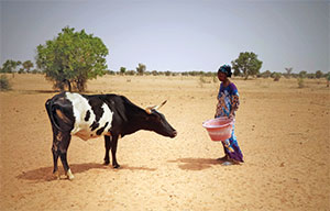 "LUTHERAN CHURCH OF SENEGAL/DEVELOPMENT SERVICES ELCA World Hunger works in partnership with Fedannde Jolof, an animal husbandry center in Senegal, to crossbreed cows that produce 2.6 gallons of milk per day. The ""better"" cows help families on their way to food security."