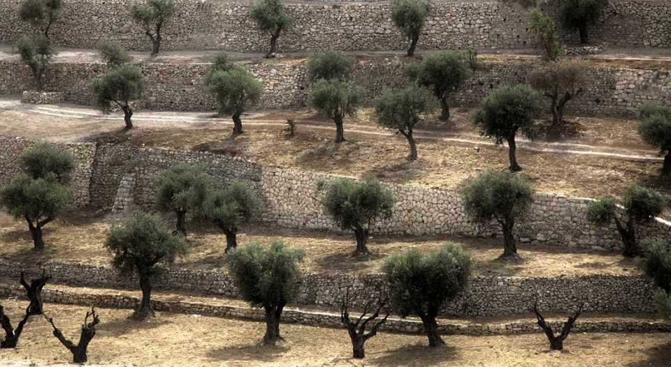 Terraced olive grove