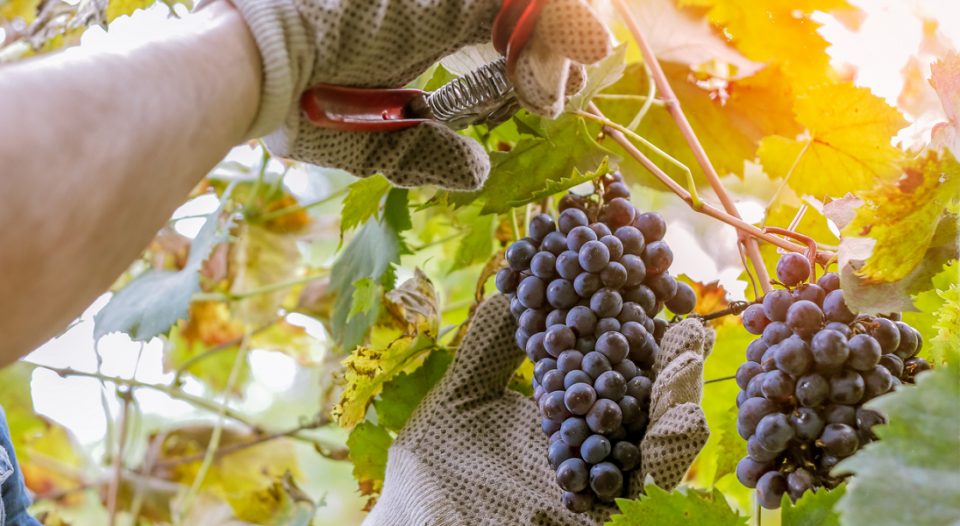 A closeup of gloved hands picking grapes.