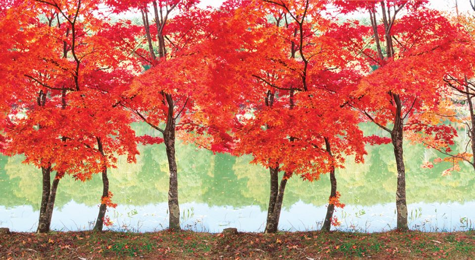 Japanese maple trees