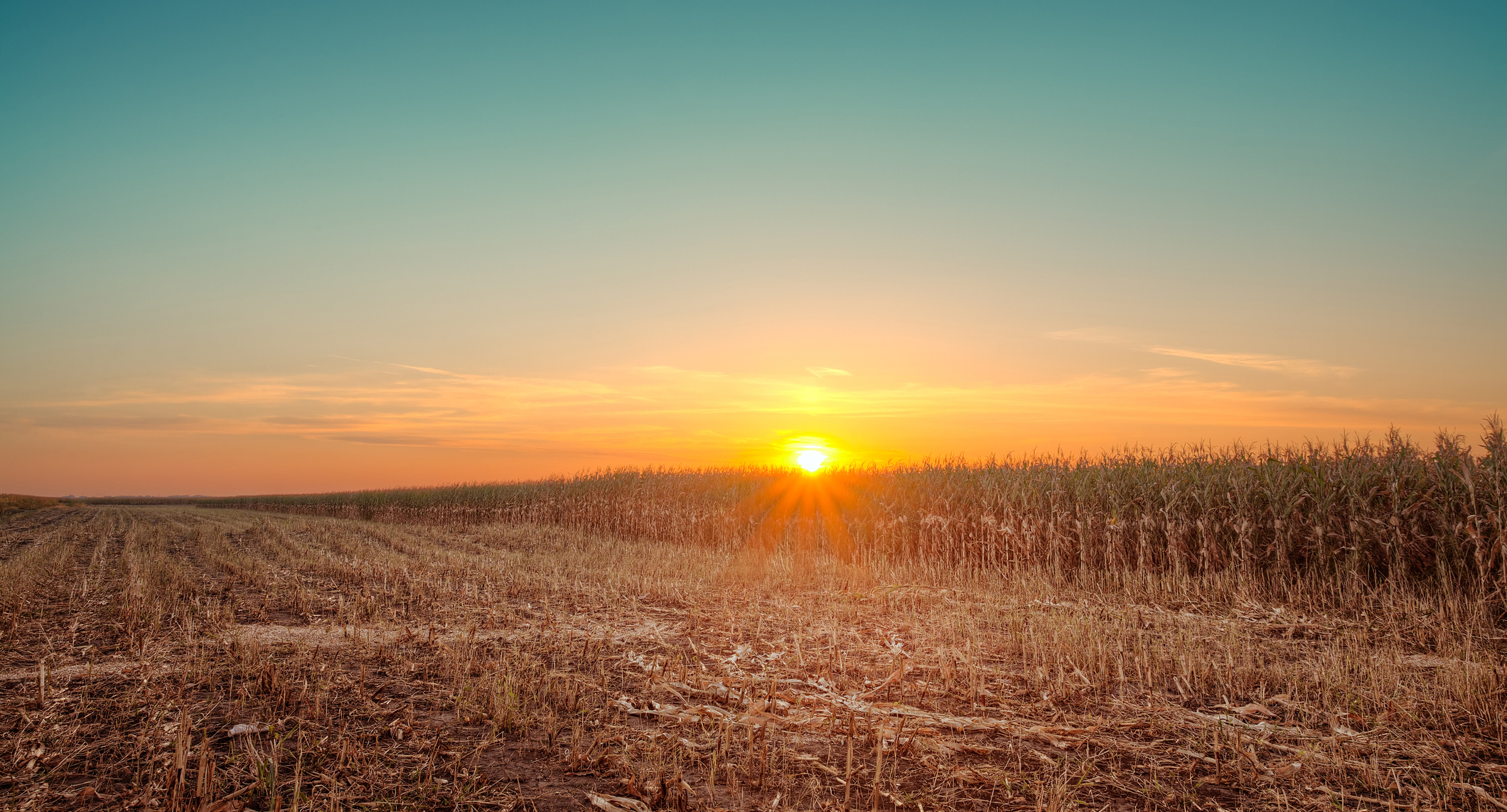 Sunset over a cornfield during harvesting