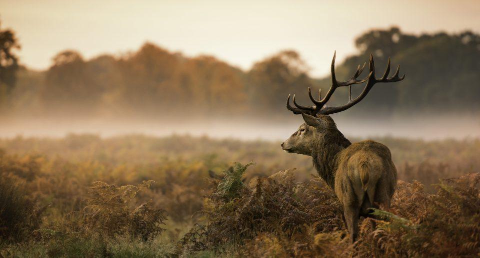 Red deer stag in field
